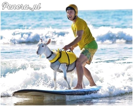 Pierwsza koza której udało się uciec z Państwa Islamskiego ;)
