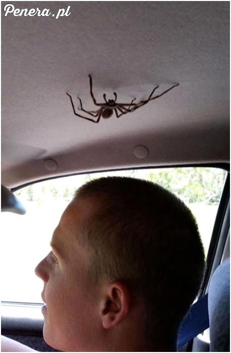 Z małym pajączkiem w jednym aucie :D